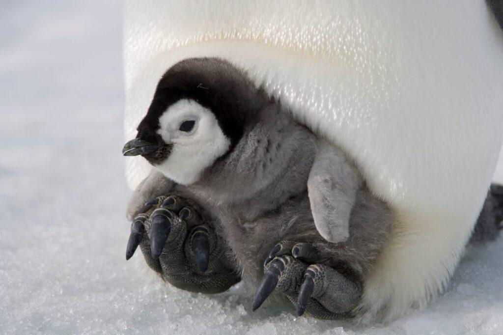 Pingwiny cesarskie podróżują do 50 mil, aby przynieść pożywienie swoim młodym.