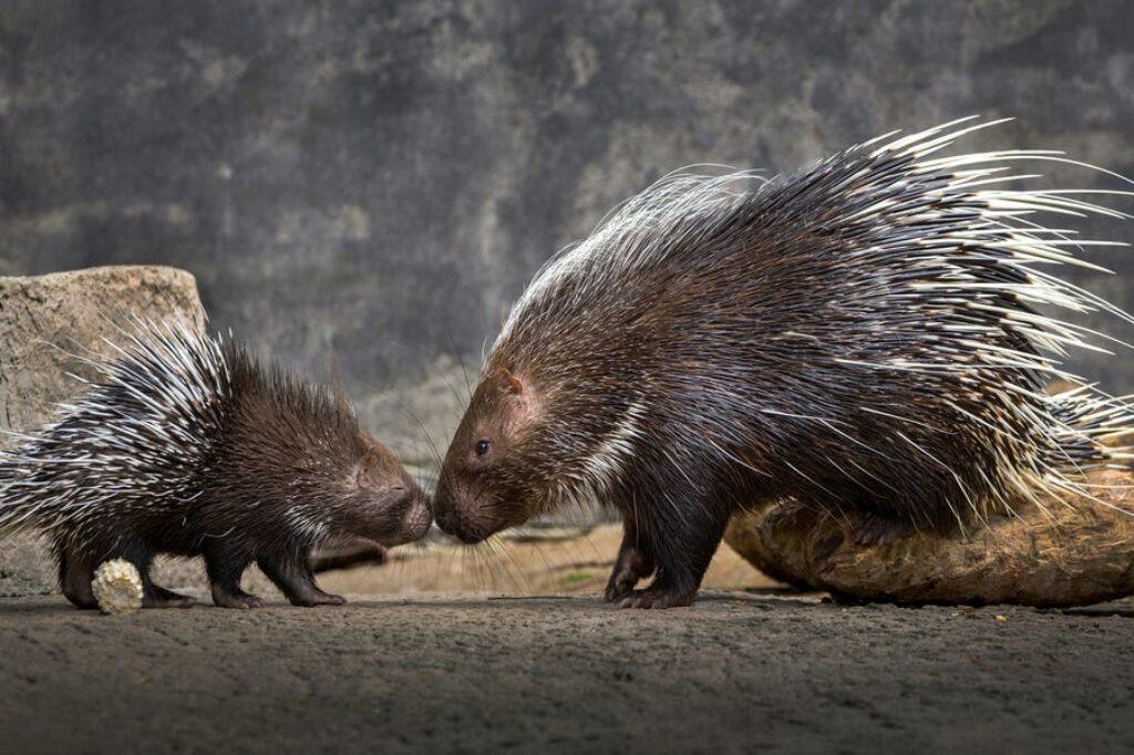 Małe jeżatki nazywane są jeżozwierzami, a matki zwykle mają od jednego do czterech naraz.