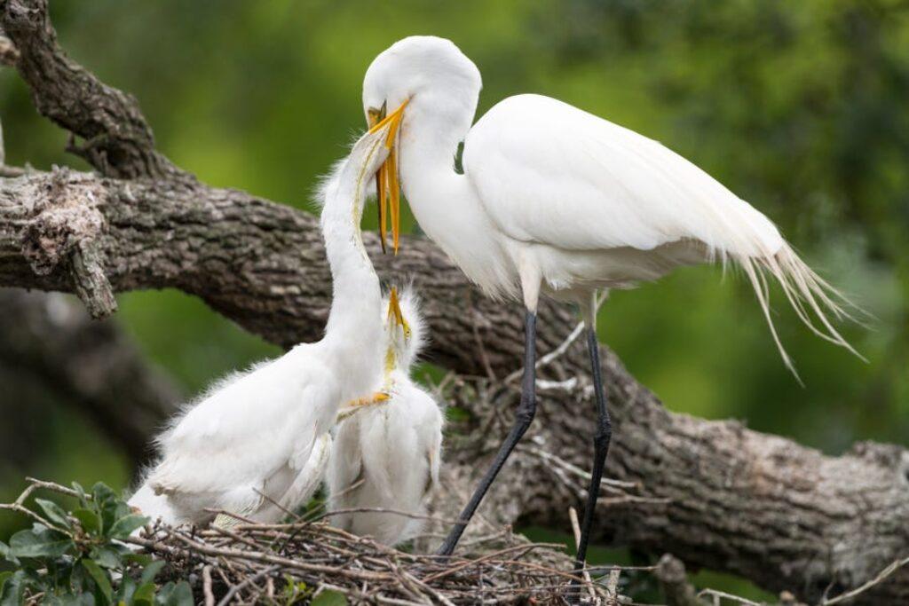 Czaple męskie i żeńskie pomagają w inkubacji jaj w gnieździe.