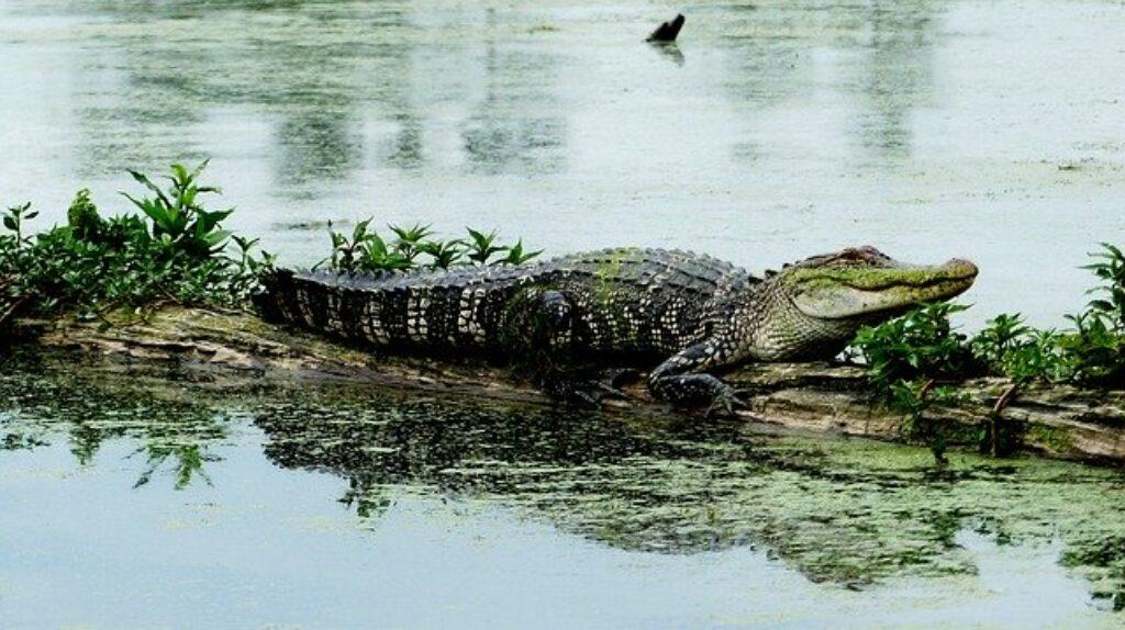 W przeciwieństwie do niektórych gadów, samice aligatory chronią swoje młode i będą nosić jaja w pysku, aby pomóc w wylęgu.