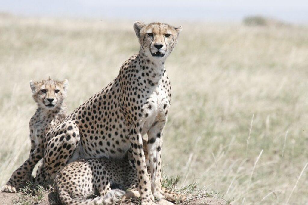 Gepardy to także samotne matki, które w samotności wychowują miot od trzech do pięciu młodych.