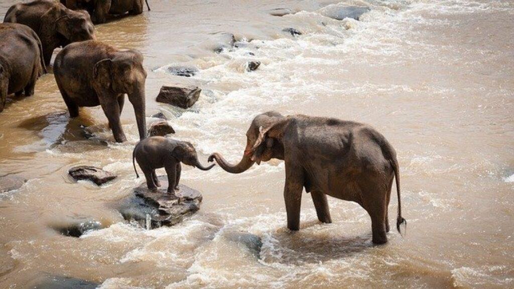 Słonie afrykańskie tworzą stado samic, które pomagają wychowywać młode cielęta.