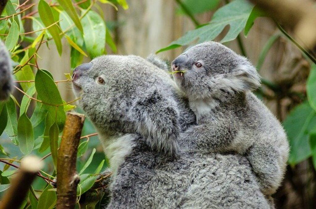 Samice niedźwiedzi koali przechowują noworodki w swoich woreczkach przez sześć miesięcy.