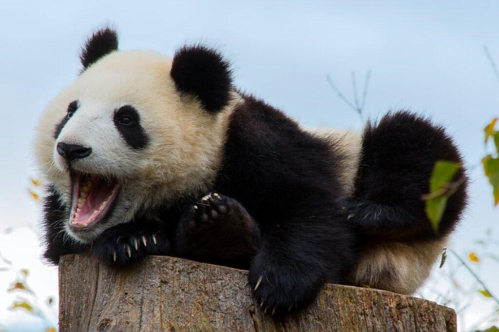 Olbrzymie pandy bardzo ostrożnie obchodzą się z nowo narodzonymi młodymi.