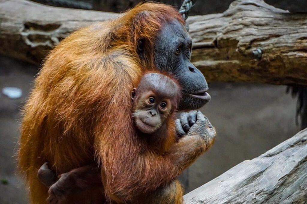 Podobnie jak ludzie, żeńskie orangutany tworzą silne, długotrwałe więzi ze swoim potomstwem.