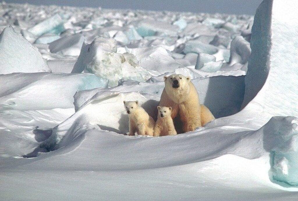 Niedźwiedź polarny z młodymi.