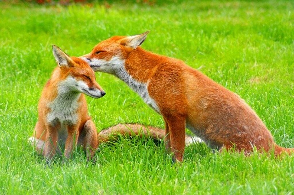 Wychowywanie potomstwa to rodzinna sprawa dla rudych lisów.