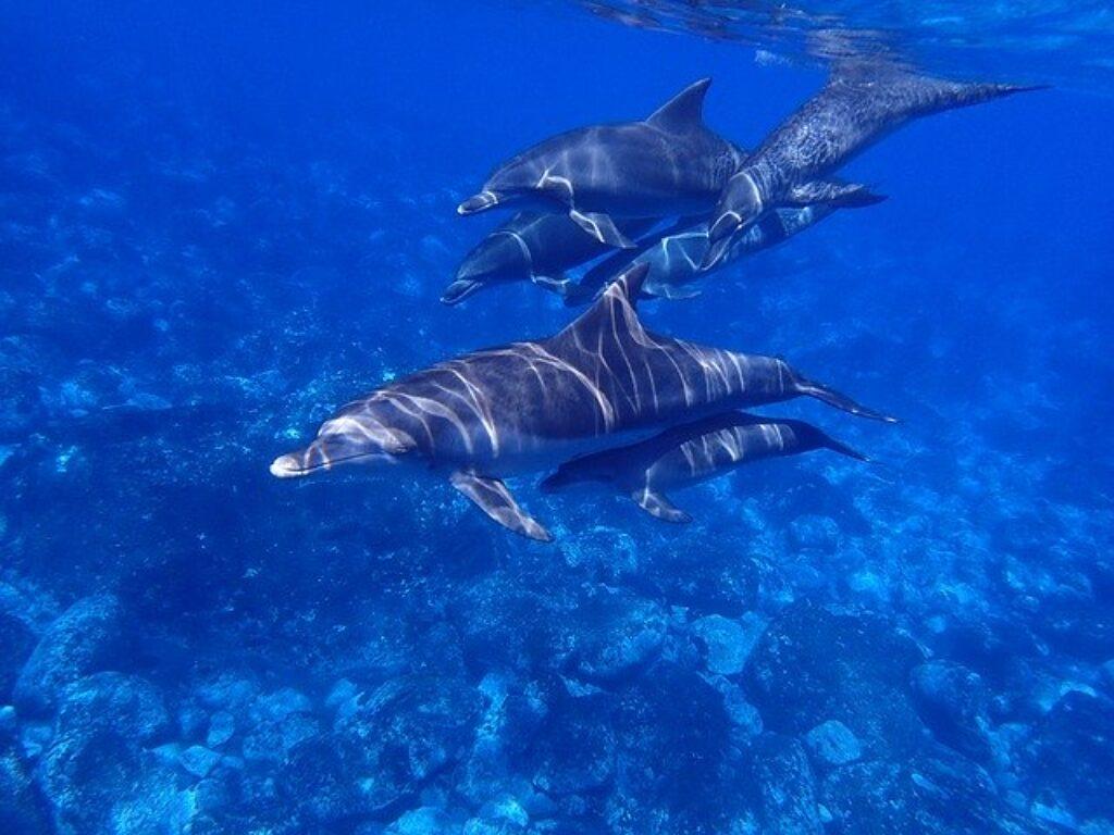 Delfiny żeńskie poprowadzą swoje młode przez wodę.